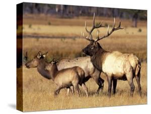 Elk in Meadow, Yellowstone National Park, Wyoming, USA by Jamie & Judy Wild
