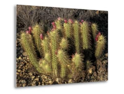 Flowering Hedgehog Cactus, Saguaro National Park, Arizona, USA