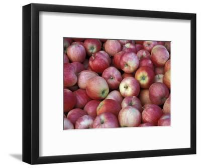 Freshly Picked Gala Apples, Monitor, Washington, USA