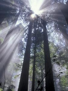 God Beams in Fog, Giant Redwoods, Del Norte Coast State Park, California, USA by Jamie & Judy Wild