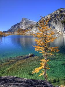 Golden Larch Tree, Enchantment Lakes, Alpine Lakes Wilderness, Washington, Usa by Jamie & Judy Wild