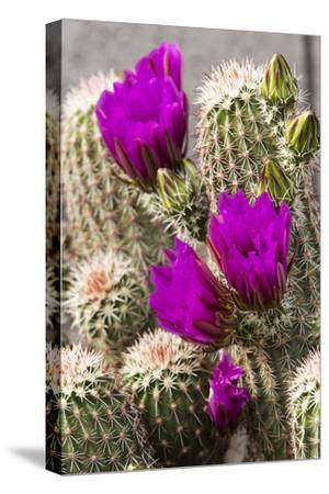 Hedgehog Cactus, Arizona-Sonora Desert Museum, Tucson, Arizona, USA