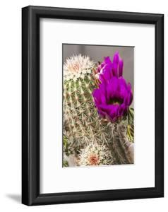 Hedgehog Cactus, Arizona-Sonora Desert Museum, Tucson, Arizona, USA by Jamie & Judy Wild