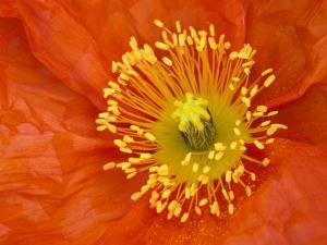 Icelandic Poppy Detail, Cannon Beach, Oregon, USA by Jamie & Judy Wild