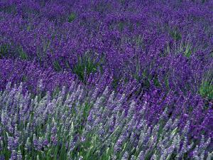 Lavender Fields in Sequim, Olympic Peninsula, Washington, USA by Jamie & Judy Wild