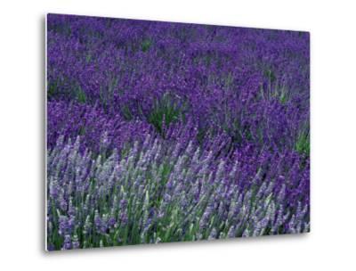 Lavender Fields in Sequim, Olympic Peninsula, Washington, USA