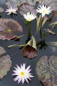 Lily Pond with Water Lilies, New Orleans Botanical Garden, New Orleans, Louisiana, USA by Jamie & Judy Wild