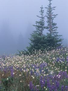 Lupine and Bistort Meadow, Hurricane Ridge, Olympic National Park, Washington, USA by Jamie & Judy Wild