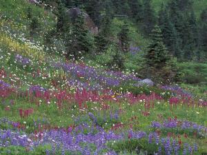 Meadow of Subalpine Lupine and Magenta Paintbrush, Mt. Rainier National Park, Washington, USA by Jamie & Judy Wild