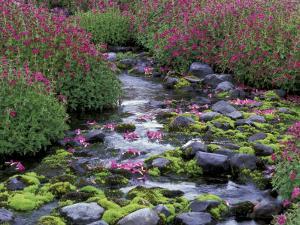 Monkeyflowers along Paradise Creek, Mt. Rainier National Park, Washington, USA by Jamie & Judy Wild
