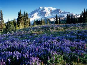 Mt. Rainier from Mazama Ridge, Mount Rainier National Park, Washington, USA by Jamie & Judy Wild