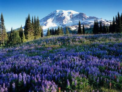 Mt. Rainier from Mazama Ridge, Mount Rainier National Park, Washington, USA