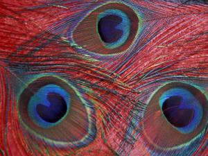 Peacock Feathers Pattern, Washington, USA by Jamie & Judy Wild