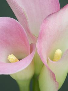 Pink Calla Lilies by Jamie & Judy Wild