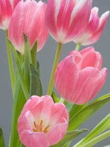 Pink Tulips by Jamie & Judy Wild