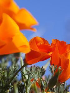 Poppies and Blue Sky, Antelope Valley Near Lancaster, California, Usa by Jamie & Judy Wild