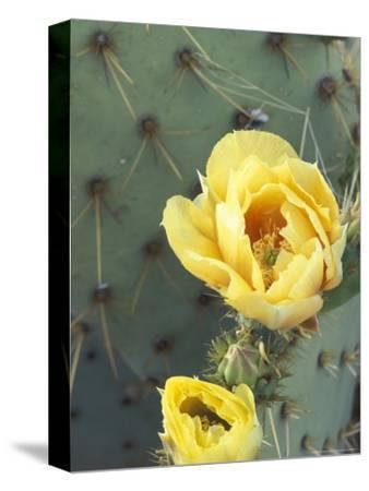 Prickly Pear Cactus Flower, Saguaro National Park, Arizona, USA