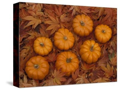 Pumpkins with Maple Leaves in Autumn, Washington, USA