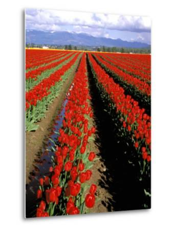 Red Tulip Rows, Skagit Valley, Washington State, USA