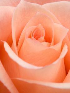 Rose by Jamie & Judy Wild