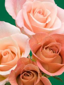 Roses by Jamie & Judy Wild
