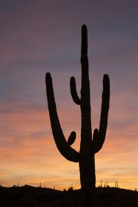 Saguaro at Sunset, Tonto National Forest Arizona, USA by Jamie & Judy Wild