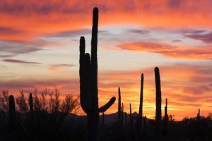 Saguaro Forest at Sunset, Saguaro National Park, Arizona, USA by Jamie & Judy Wild