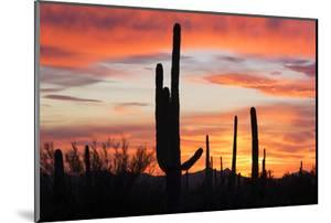 Saguaro Forest at Sunset, Saguaro National Park, Arizona, USA by Jamie & Judy Wild