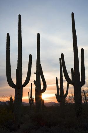 Saguaro Forest at Sunset, Tucson, Arizona, USA by Jamie & Judy Wild