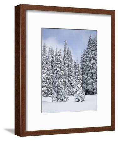 Snow-Covered Fir Trees, Mount Rainier National Park, Washington, Usa