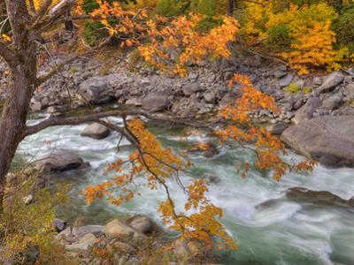 Tumwater Canyon, Maple Tree and Wenatchee River, Wenatchee National Forest, Washington, Usa by Jamie & Judy Wild