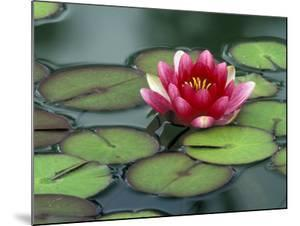 Water Lily and Pods at the Woodland Park Zoo Rose Garden, Washington, USA by Jamie & Judy Wild