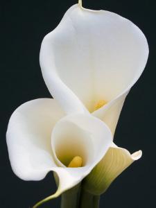White Calla Lilies by Jamie & Judy Wild