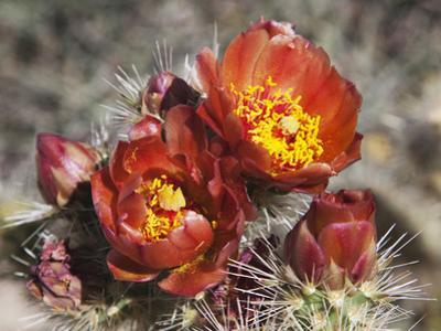 Wolf's Cholla, Anza-Borrego Desert State Park, California, Usa by Jamie & Judy Wild