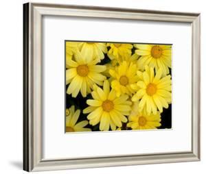 Yellow Daisies, Bellevue Botanical Garden, Washington, USA by Jamie & Judy Wild