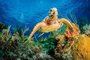 Hawksbill Turtle Swimming Through Caribbean Reef by Jan Abadschieff