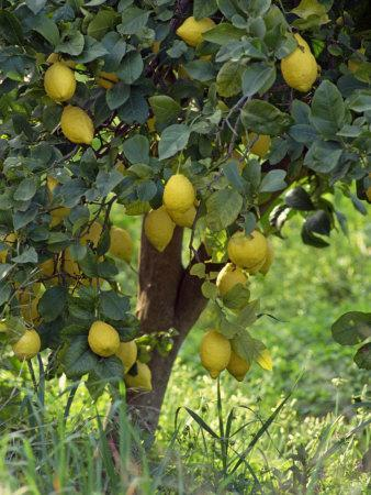 Close-Up of Lemon Tree, Denia, Spain, Europe