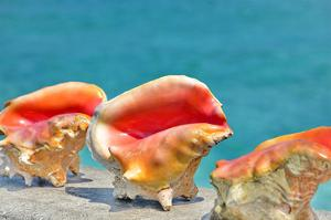 Three Conchs by Jan Michael Ringlever