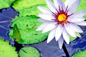 Water Lilly II by Jan Michael Ringlever