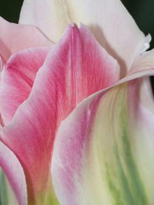 Pink White and Green Florissa Tulip Close-Up from Holland, Netherlands by Jan & Stoney Edwards