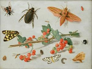A Sprig of Redcurrants with an Elephant Hawk Moth, a Magpie Moth and Other Insects, 1657 by Jan van Kessel the Elder