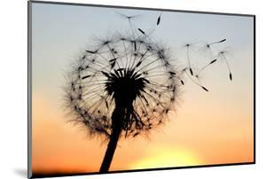A Dandelion Blowing Seeds in the Wind. by JanBussan