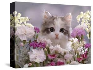 8-Week, Silver Tortoiseshell-And-White Kitten, Among Gillyflowers, Carnations and Meadowseed by Jane Burton