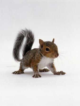 Baby Grey Squirrel, Portrait