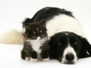 Black-And-White Border Collie Lying Chin on Floor with Black-And-White Kitten by Jane Burton