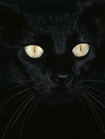 Black Domestic Cat, Eyes with Pupils Closed in Bright Light by Jane Burton