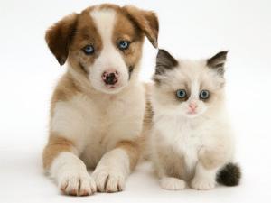 Blue-Eyed Red Merle Border Collie Puppy with Birman-Cross Kitten, Blue Eyes by Jane Burton