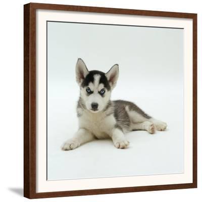 Blue-Eyed Siberian Husky Dog Puppy, 6 Weeks Old, Lying Down by Jane Burton