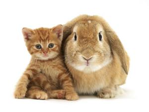 British Shorthair Red Spotted Kitten Sitting with Sandy Lop Rabbit by Jane Burton