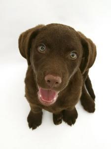 Chesapeake Bay Retriever Dog Pup, 'Teague', 9 Weeks Old Looking Up by Jane Burton